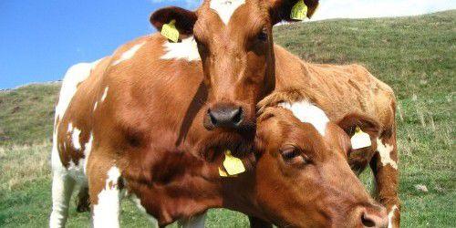 cow-1574218